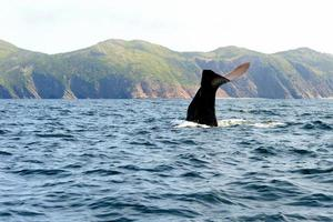 Diving sperm whale in Trinity Bay