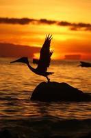 venezuela los roques ave pelikan
