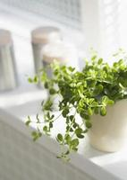pot of herbs in a window photo