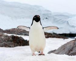 pingüino gentoo