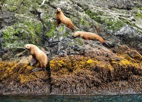 leones marinos en una roca foto