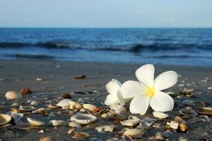 two plumeria flowers on the sand on the beach photo