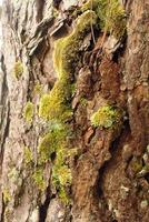 bark of pine tree and moss