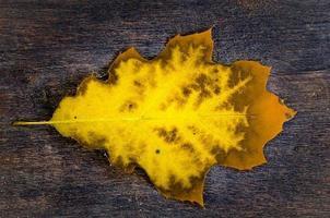 yellow oak leaf on wooden background photo