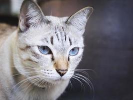 Retrato de gato asiático foto