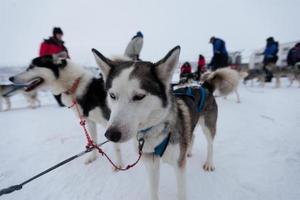 Husky sled dogs photo