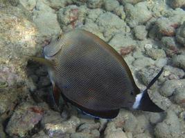 peces tropicales del océano hawaiano foto