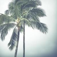Coconut palm in Hawaii, USA.