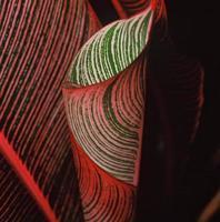 Hawaiian Ti Plant photo