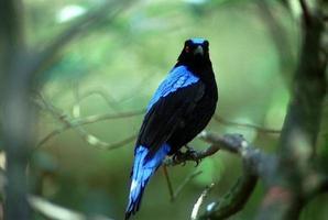 Asian fairy bluebird photo