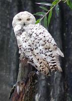 Polar owl photo