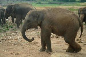 elefantes asiáticos, sri lanka foto