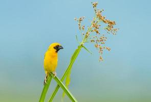 Male Asian golden weaver