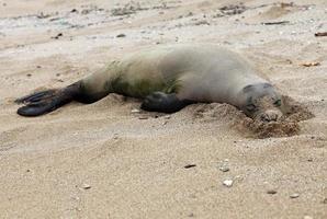 Monk Seal, Hawaii