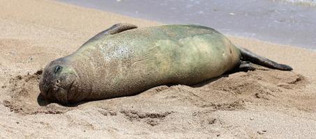 Monk Seal, Hawaii photo