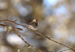 Redpoll perched on branch