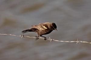 Immature Red Winged Blackbird perched on barbed wire strand