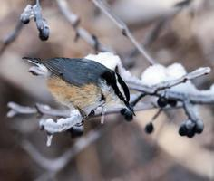 Red-breasted Nuthatch  in Winter