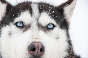 Portrait of a Siberian Husky close-up photo