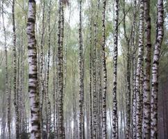 Birch forest by autumn in wood