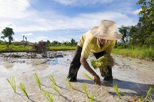 agricultor de arroz asiático foto