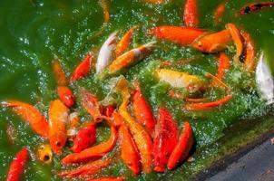 pez koi hambriento foto
