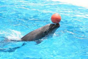 dolphin playing photo