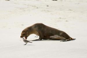 leão-marinho de Galápagos e pássaro zombando