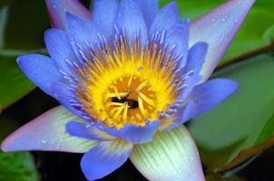 abeja dentro de lirio de agua