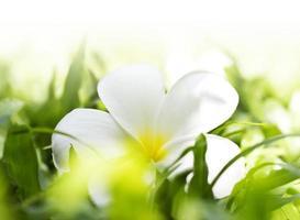 frangipani branco na grama