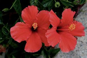 Gorgeous ruby red Hibiscus flowers