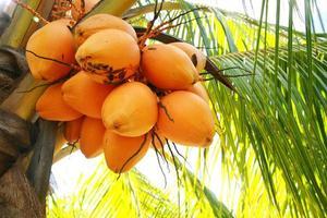 Palm tree coconuts photo