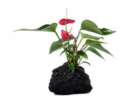 planta de roca de lava foto