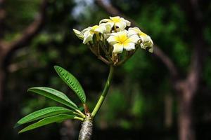 Close up of plumeria blossom