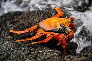 Red sally lihgt foot crab on a rock Galpagos Islands