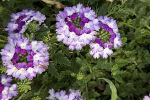 Verbena - Twister Purple Imp.