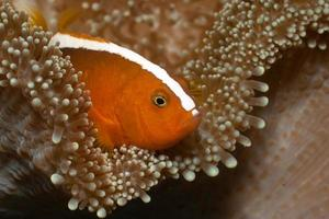 Orange Anemonefish Amphiprion sandaracinos in Merten's Carpet Sea Anemone photo