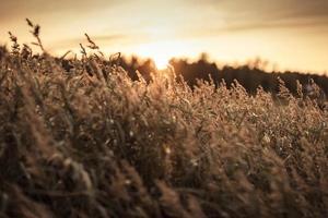 grama da Suécia em primeiro plano ao pôr do sol 4