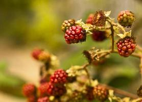 berries, blackberries on a bush, autumn harvest background