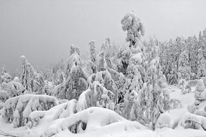 Snow-covered tree in Lapland