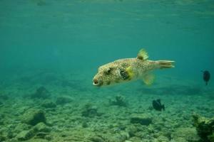 puffer fish photo