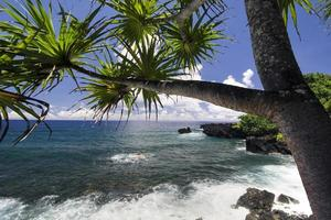 Palm tree, northern coastline,road to Hana, Maui, Hawaii