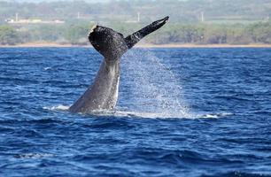 Whale waving with its tail