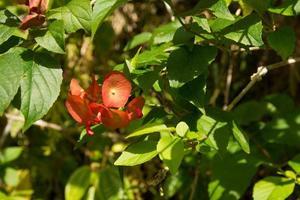 Red hawaiian flower photo