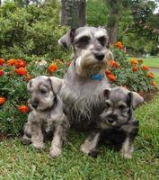 Schnauzer family photo