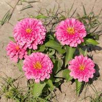 pink Zinnia flowers. (family Compositae)