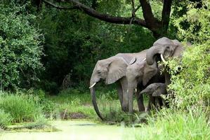 famiglia di elefanti acqua potabile