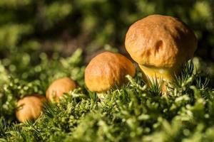 familia de hongos marrones en el bosque foto