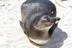 South African Penguin Portrait Lying