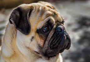 Pug portrait photo